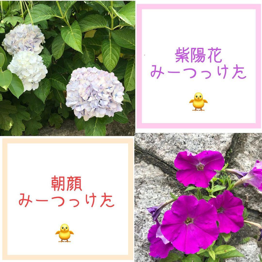紫陽花に朝顔ピィ~